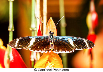 Heliconius Doris Butterfly