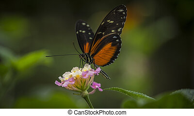 Heliconius Doris Butterfly - Doris Longtail Butterfly, ...