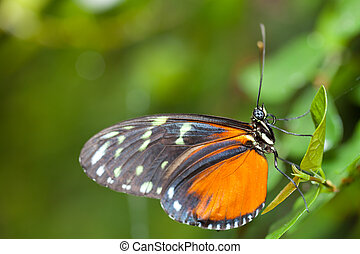 Heliconius hecale, is a species of Lepidoptera belonging to ...