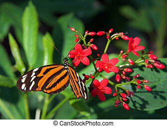 Heliconius hecale, the tiger longwing butterfly - Heliconius...