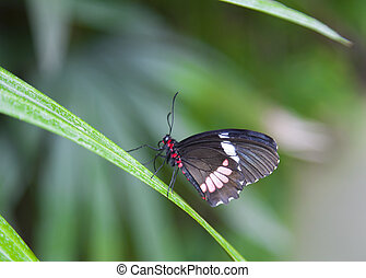 The Postman butterfly has large long wings with an orange stripe down each forewing