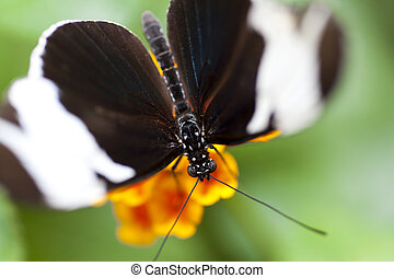 Heliconius sapho is a member of the pupal-mating clade of ...