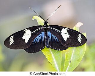 Heliconius sara butterfly. Black blue and white. - Aka Sara...