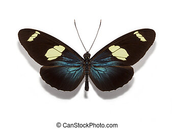 Heliconius sara butterfly - neotropical heliconiid butterfly...
