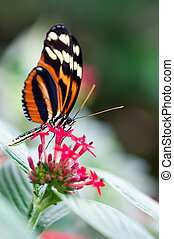 heliconius xanthocles longwing butterfly on a flower
