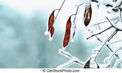 helicopter maple branch frost winter. Dried maple fruit...