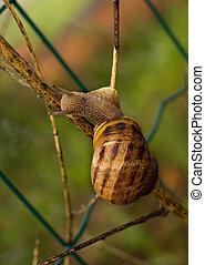 Helix aspersa - Garden snail, climbing - Agile example!