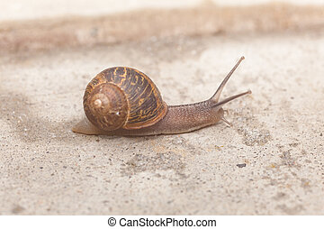 Helix aspersa, known by the common name garden snail, is a...