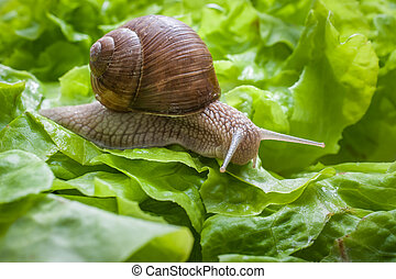 Slug in the garden eating a lettuce leaf. Snail invasion in the garden