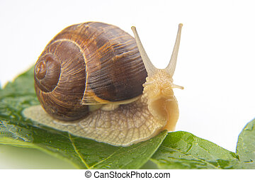 Helix pomatia. grape snail crawling on green leaves. mollusc and invertebrate. delicacy meat and gourmet food.