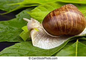 Helix pomatia. grape snail eats green leaves. mollusc and invertebrate. delicacy meat and gourmet food.