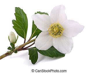 Hellebore (Helleborus niger) - Hellebore flower (Christmas...