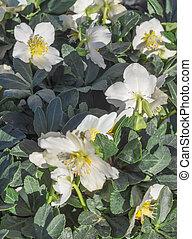 Helleborus Niger - Helleborus niger aka Christmas rose or...