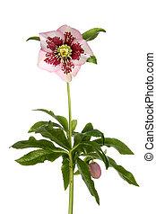 hellibore, plante