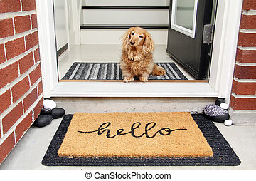Hello. Longhair dachshund sitting in the front entrance of a home.