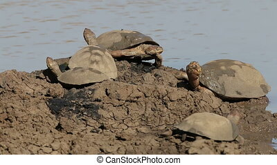 Helmeted terrapins (Pelomedusa subrufa) resting at the water...