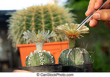 Helping pollinating the cactus plants for breeding