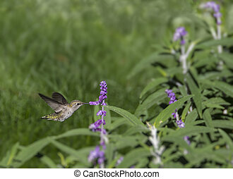 hembra, black-chinned, colibrí