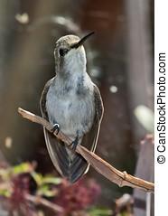 hembra, blackchin, colibrí