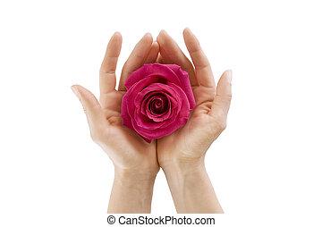 hembra entrega, tenencia, rosa, blanco, aislado, primer plano
