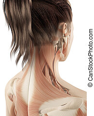 hembra, músculos, de, el, cuello