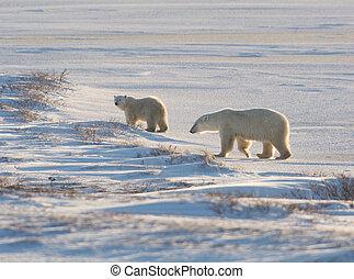 hembra, oso polar, y, cachorro