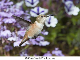 hembra, rufous, colibrí, gg