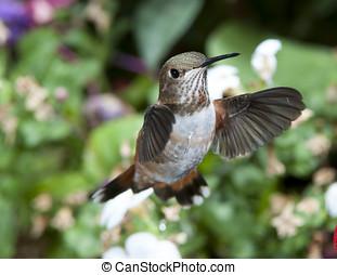 hembra, rufous, colibrí