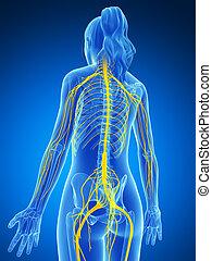 hembra, sistema nervioso