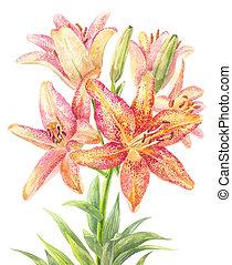 hemerocallis, day-lily
