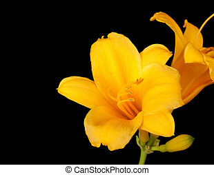 hemerocallis, daylily, jaune