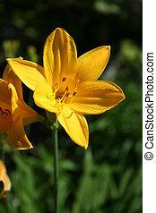 hemerocallis, fleur, daylily