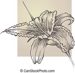 hemerocallis, kwiat, rozkwiecony