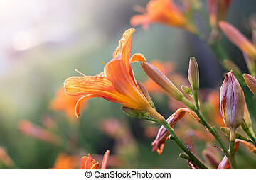 hemerocallis, pomeranč květovat, kvetoucí, daylily, ...