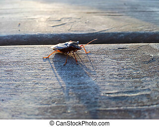 Hemiptera beetle, crossing a wooden table at sunset