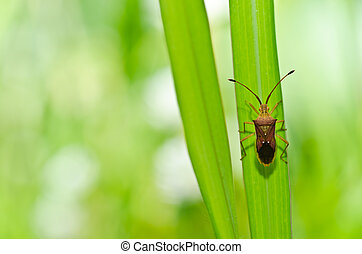 hemiptera in green nature or in the garden