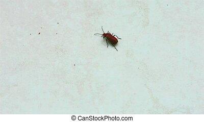 hemiptera, insect