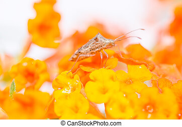 hemiptera on the yellow flower in the green nature