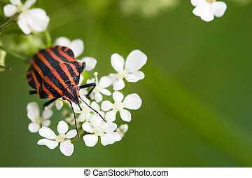 Hemiptera red stink bug in white flowers on green background