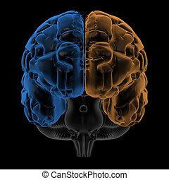 hemisférios, frente, cérebro, vista