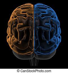 hemisferios, vista, espalda, cerebro