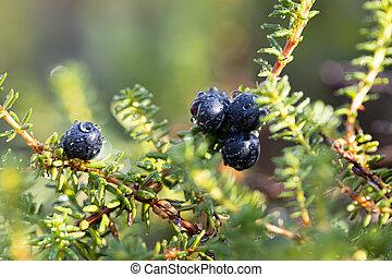 hemisphäre, nigrum, alaska, empetrum, verteilung, brombeere, schwarz, arten, blühen, circumboreal, familie, heidekraut, ericaceae, westlich, crowberry, nördlich , pflanze