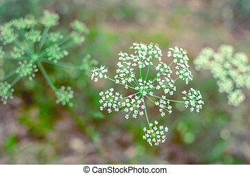 Hemlock branch with tiny white flowers in the spring with a foliage background