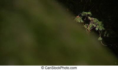 Hemlock Branches, Moss On Tree - Steady, medium wide shot of...