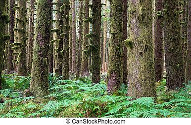 hemlock, groundcover, hoh, farn, zeder, bäume, rainforest,...