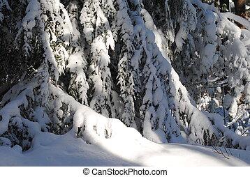 Hemlocks in January - Heavy snow on graceful evergreen...