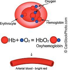 hemoglobina, oxygen., carrega, ilustração, infographics., ...