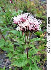 Hemp-agrimony (Eupatorium cannabinum)inflorescence