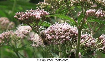 Hemp-agrimony (Eupatorium) pollinated by honeybees - eye level