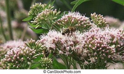 Hemp-agrimony (Eupatorium) pollinated by honeybees